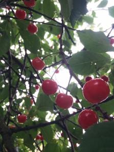 """""""Klarbär"""" cherries"""