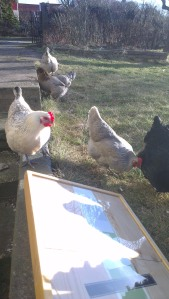 Chickens checking out my printing frame