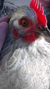 """""""Scruffy"""" is turning out to be prettiest out of all hens"""