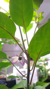 first flower! Purple ufo