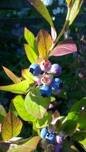 Lots of blueberries!