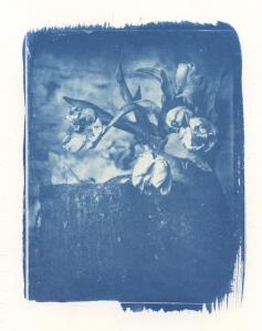 cyanotulips