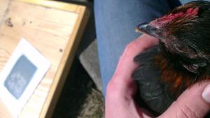 Pidgey is such a lap-hen