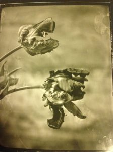 Phone picture of the drying contact print made from a glass negative