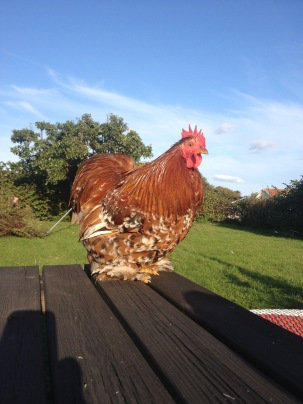 Peanut the cowardly cockerel