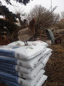 chicken and soil, planting